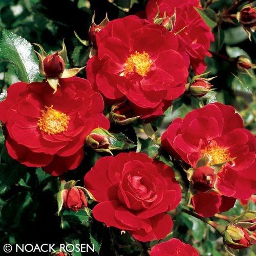 "Bodendeckerrose ""Heidefeuer"" - leuchtend rot blühende ADR-Topfrose im 6 L Topf - frisch aus der Gärtnerei - Pflanzen-Kölle Gartenrose"