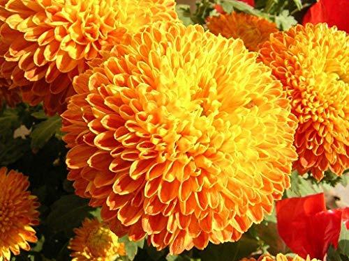 Free Frauenhaarfarn Blumensamen 50Pcs Marigold Chrysanthemum Bonsai ()