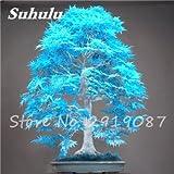 Verlust Förderung! 50 PC-Echt japanische Blau Maple Samen Seltene Balkon Bonsai-Baum-Pflanzen für Hausgarten-Air Purification 2