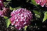 Hortensie Bauernhortensie Bouquet Rose Hydrangea macrophylla Bouquet Rose Containerware 30-40 cm hoch