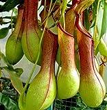 Vivai Le Georgiche Nepenthes Alata (Carnivora) immagine