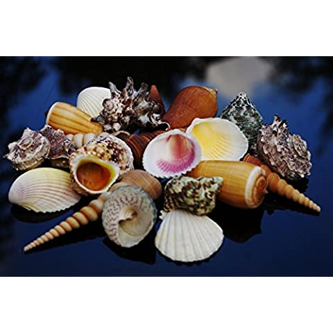 16 Medium SeaShells, Natural Beach Mix Sea Shells, Craft & Decor Shell by Shells4U