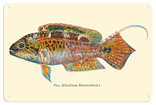 Pacifica Island Art Fine Art Pou (Cheilinus Bimaculatus) - Zwei Punkte Kranke Fische - von Fischen von Hawaii - Vintage Hawaiian Color Postkarte c.1905 - Kunstdruck 8 x 12 in Tin Sign Mehrfarbig -