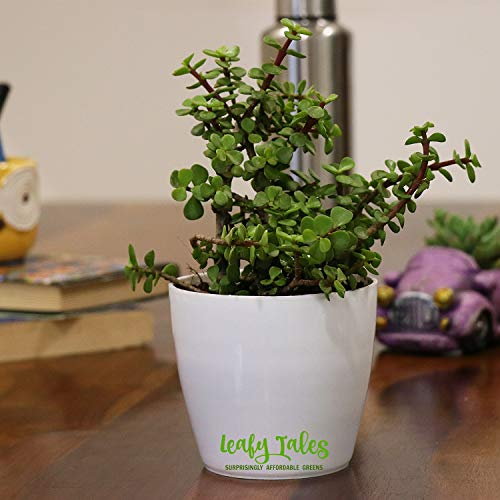 Leafy Tales Good Luck Button Jade (Crassula) in White Plastic Pot I Low Maintenance, Lucky Plant for Home I Women's Day Gift I Holi Special