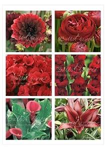 Rote Blumenzwiebeln Kollektion - 160 Blumenzwiebeln und Knollen aus Holland - Versandfrei