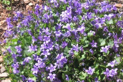 Dalmatiner Violette Blüten