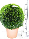 2 Buchsbaum Kugel, Durchmesser: 30-35 cm, Buxus + Dünger