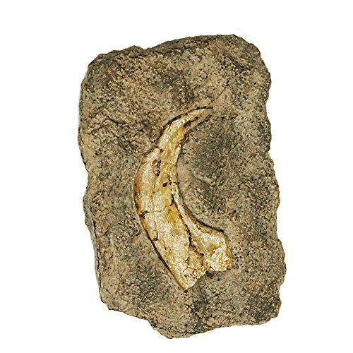 Unbekannt Geoworld cl081K-Dig & Discover, Fossil Replica, Velociraptor Claw