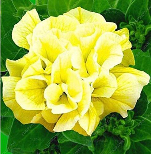 Go Garden Lot de 200 pétunias de bonsaï pour Jardin Bonsaï Lune Nuit Ciel Double Fleurs Violet Ciel Noir Petunia Haute Germination Blanc