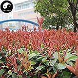 Vistaric Kaufen Sie Photinia Serrulata Tree Seeds 100pcs Pflanze Red Robin für Heather Shi Nan