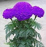 100 PCS / BAG semillas aster aster flor bonsai semillas de flores de crisantemo del arco iris semillas planta perenne de flores a domicilio jardín Borgoña