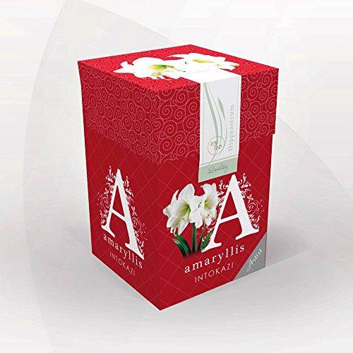 Amaryllis Intokazi + boîte à offrir - 1 bulbe de fleur