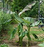 Himalaja-Banane - Musa sikkimensis 'Manipur'