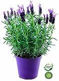 Schopf Lavendel Pflanze, Im XXL Topf, Duft kräuter Pflanze