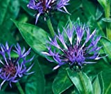 AGROBITS 50 semi di mais Montana fiori (Fiordaliso di montagna) perenni