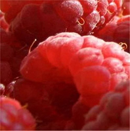 Himbeere Himbostar - Rubus idaeus