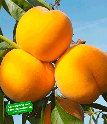 BALDUR-Garten Pfirsich-Aprikose 'Honeymoon', 1 Pflanze, Percoca Pfirsichbaum Aprikosenbaum