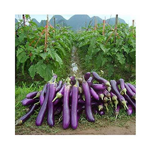 15x Riesen F1 Lila Aubergine Samen Garten Pflanze Küche Gemüse #275 - Lagerung Auberginen