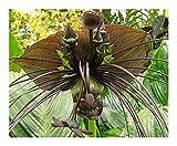 Tacca Chantrieri Green Isle – Fledermausblume – 5 Samen