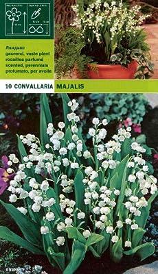 """Convallaria majalis """" Maiglöckchen """" (10) von Mosselman - Du und dein Garten"""
