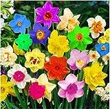 Cioler Seme di Fiore- 100pcs Semi di narcisi,Home Colorati Daffodil Piante Semi di bulbi da Fiore Semi Fiori Ornamentali per Il Giardino di casa
