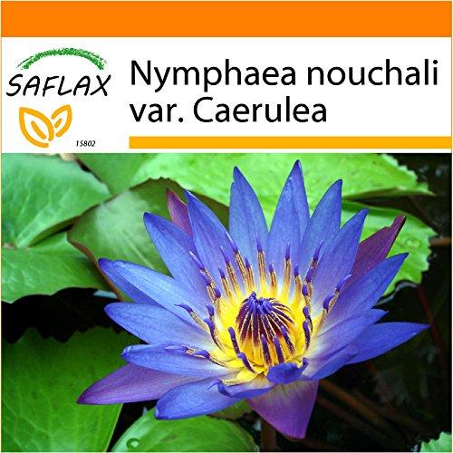Galleria fotografica SAFLAX - Garden in the Bag - Loto blu dell'India - 15 semi - Nymphaea nouchali var. Caerulea