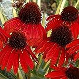 Pinkdose2018 Heißer Verkauf Selten Echinacea 'Firebird' Dunkelrot Sonnenhut, 100 Samen. Eindrucksvolle mehrjährige Blume E3823