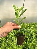 Pianta di prunus lauroceraso rotundifolia in vaso biodegradabile (foto reali)