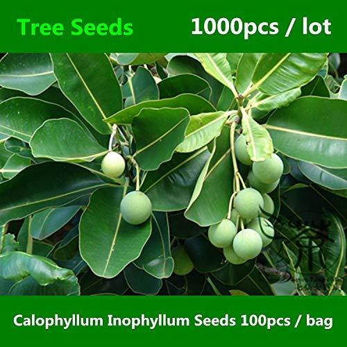 Viviki ^^ Borneo-Mahagoni Calophyllum Inophyllum ^^^^ 1000Stk, Indischer Lorbeer Alexandrischer Lorbeerbaum, Red Poon Beach Calophyllum