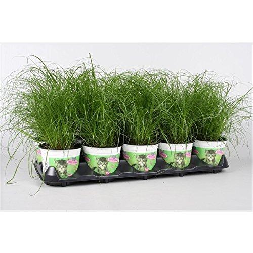 Blumen-Senf Katzengras 1 Pflanze - Cyperus alternifolius Zumula - zur Verdauungsunterstützung von Katzen