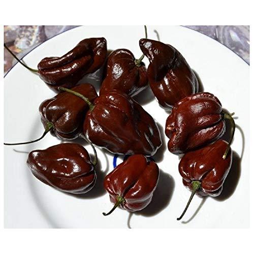 HOT CHILLI PEPPER - HABANERO CHOCOLATE - 60 SEEDS