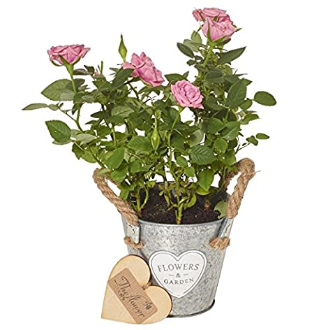 The Flower Rooms - Mini Light Pink Rose Plant - Flower Gift