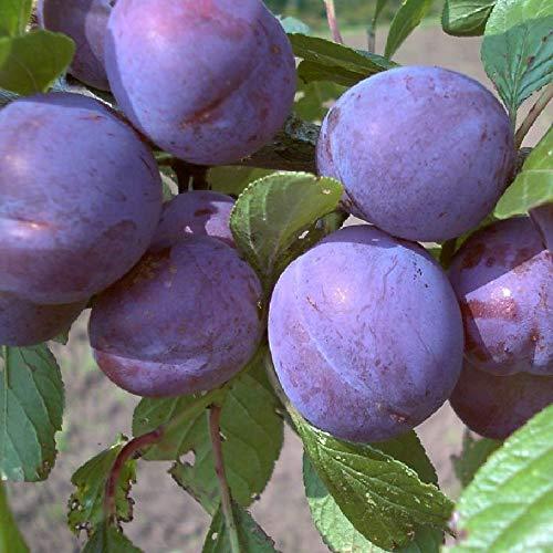 Wangenheims Frühzwetsche Pflaumenbaum selbstfruchtbar Zwetsche Obstbaum Halbstamm 150-170 cm