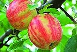 Fruchtbengel, Apfelbaum Karneval, Malus domestica, schorfresistent, dekorativ, aromatisch