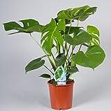 "Swiss Cheese Plant ""Monstera Deliciosa"" Plant 55cm to 65 cm tall in 17 cm Pot"