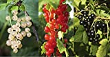 3 Mixed Currant Bushes - White, Red & Blackcurrant - Multi-stemmed Plants 3fatpigs®