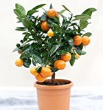 #8: NooElec Seeds India 10 Seeds Dwarf Valencia Orange Fruit Tree