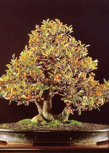 Tropica, Bonsaï, Naine, Orange (Citrus Trifoliata)