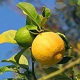 Yukio Samenhaus - Amerikanisch Zitronensamen Zitruspflanzen 10 Stück Obstsamen Baumsamen Bonsai, geeignet für Topf, Garten, Balkon