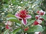 Portal Cool Ananas Guave Samen Eßbares Obst Frost, Schnee, Eis, Tolerant Evergreen Strauch