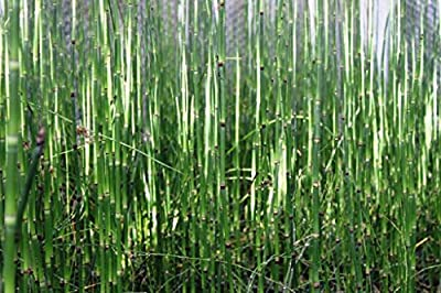 Wasserpflanzen Wolff - Equisetum japonicum - Japanischer Schachtelhalm - Zinnkraut von Wasserpflanzen Wolff - Du und dein Garten