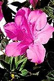 Semi organici: 2 Glon: Ene Azea Sangria (, arbusto, fiori rosa, fogliame verde) per Farmerly