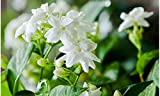 #9: All Season Live Plant - Super Fragrant Flower Jasmine Rare Plant