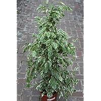 Piante per Interni, per casa o ufficio, Ficus Benjamina Variegata, 80cm Uso Ora Ridotto