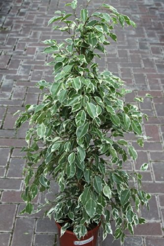 planta-de-interior-planta-para-la-casa-o-la-oficina-ficus-benjamina-variegata-80-cm-de-alto-ahora-co