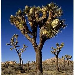 15 Exotic Joshua Tree Samen, Yucca brevifolia Palm, Kalter Hardy baccata var.
