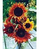 """Premier Seeds Direct SUN17F Sonnenblume """"Erdläufer"""" feinste Samen (Packung mit 75)"""