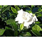 Fragante jazmín del cabo del arbusto, Gardenia Jasminoides, 50 semillas