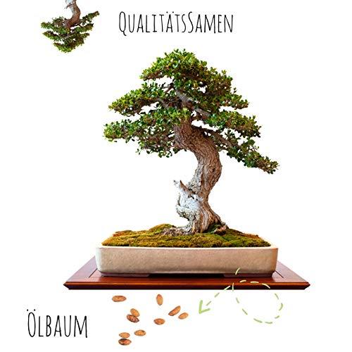 Exotische Bonsai Samen mit hoher Keimrate - Pflanzen Samen Set für deinen eigenen Bonsai Baum (1x Ölbaum)