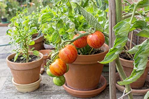 Asklepios-seeds® - Tomatensamen, 100 Samen Tigerella Tomate, Samenfeste Alte Tomaten-sorte